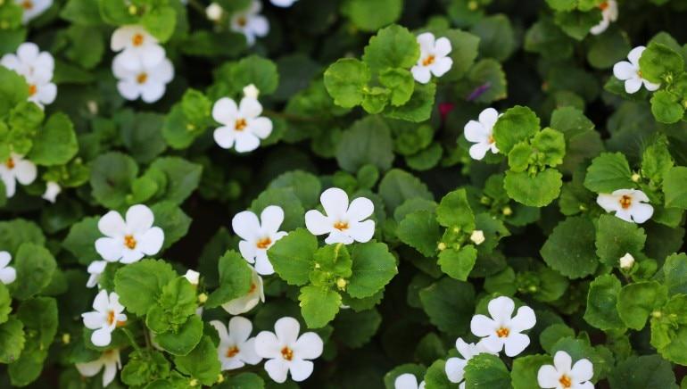याददाश्त बढ़ाने से लेकर इम्युनिटी बूस्ट करने तक, यहां हैं ब्राह्मी के 6 चमत्कारिक लाभ