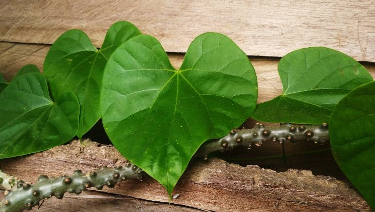 From boosting immunity to reducing anxiety, here's what giloy can do for you